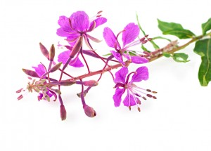 Willow-herb close up, isolated on white background. Medicinal plant.